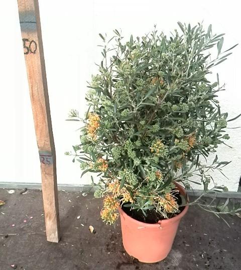 Venta de Grevillea olivácea