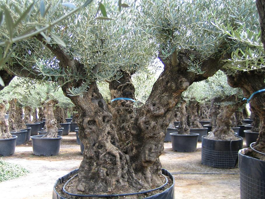 Es olivo fr olives - Olivier olea europaea prix ...